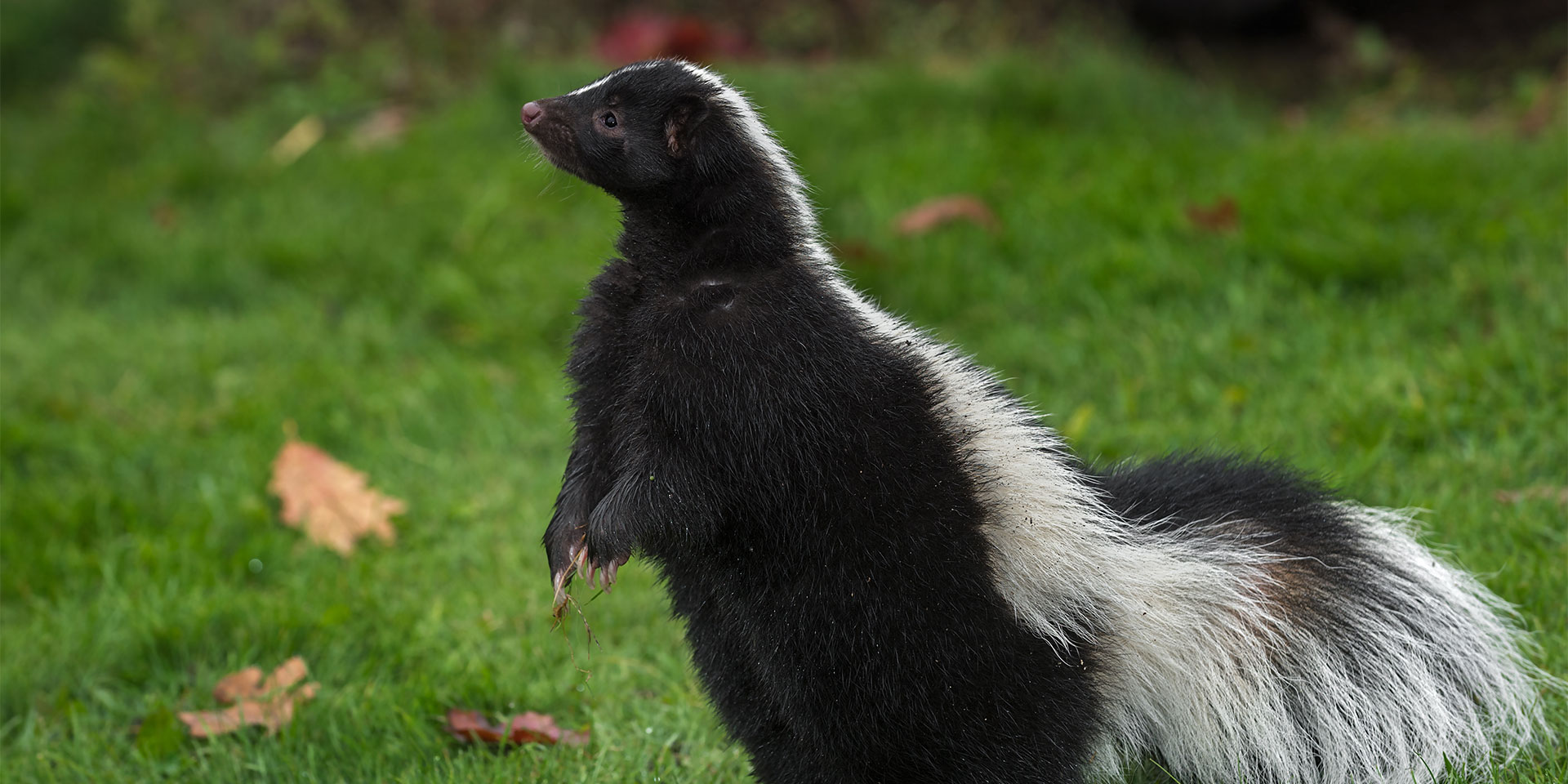 Skunk standing up on grass